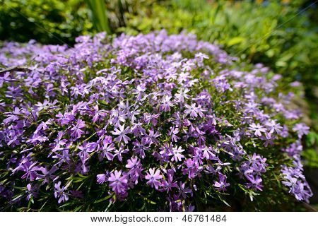 violet flower shrubs in spring