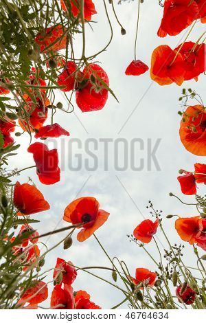 Low angle view from a poppy field in Tuscany looking up to the sky