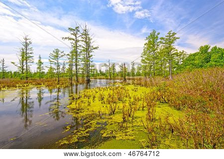 Cypress Swamp On A Sunny Day