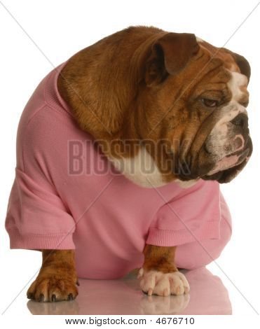 Bulldog With Attitude In Pink Shirt