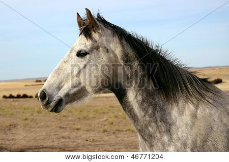 Grey Horse Head Against Sky and Prairie Background