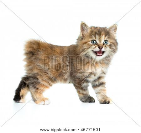 Kuril bobtail tortoiseshell coat kitten isolated on white