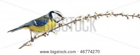 Side view of tweeting Blue Tit perching on a blossoming branch, Cyanistes caeruleus
