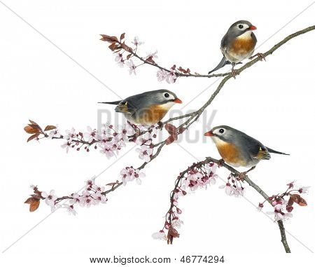 Group of Red-billed Leiothrix perched on a Japanse cherry branch - Leiothrix lutea - isolated on white