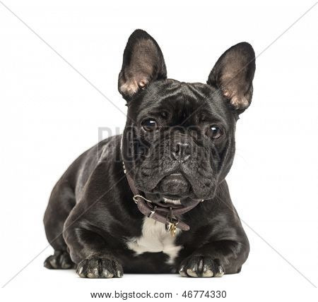 French Bulldog lying, looking at the camera, 2 years old, isolated on white
