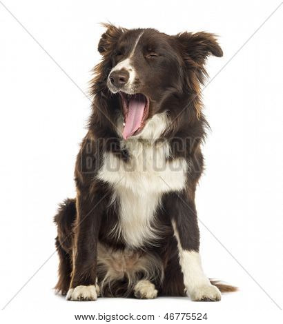 Border Collie sitting, yawning, 9 months old, isolated on white