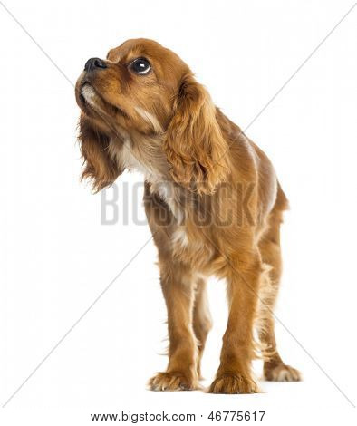 Cavalier King Charles Spaniel puppy standing, looking up, 5 months old, isolated on white