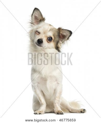 Chihuahua sitting, facing, winking, 1 year old, isolated on white