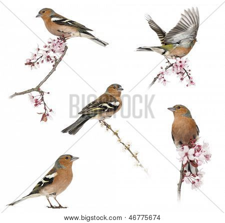Collection of Common Chaffinch perched on a branch -Fringilla coelebs- isolated on white