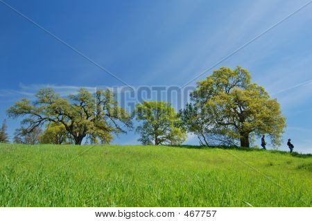 Oak Tree In Spring