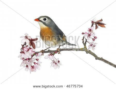 Red-billed Leiothrix (Leiothrix lutea), perched on a branch, isolated on white