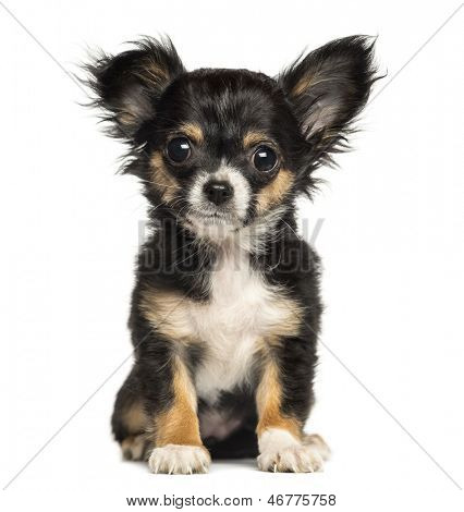 Chihuahua puppy sitting, looking at the camera, 3 months old, isolated on white