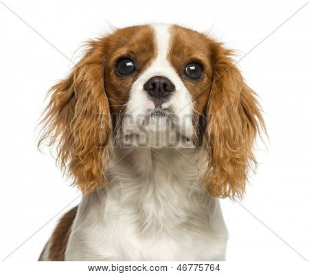 Close-up of a Cavalier King Charles Spaniel puppy, 5 months old, isolated on white