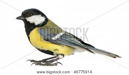 Male great tit,  Parus major, isolated on white