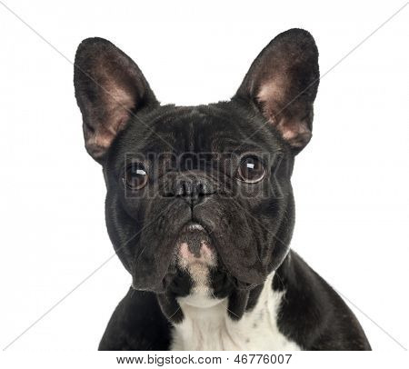 Close-up of a French Bulldog, 2 years old, isolated on white