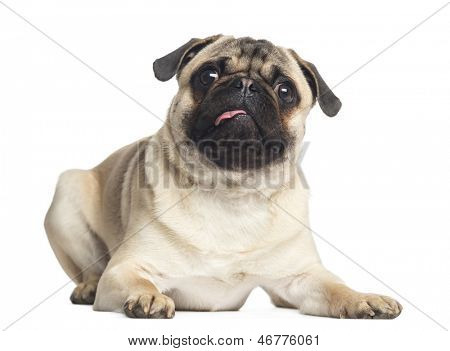 Pug, lying, looking up, 1 year old, isolated on white