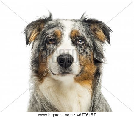 Close-up of an wall-eyed Australian Shepherd looking at the camera,1,5 year old, isolated on white