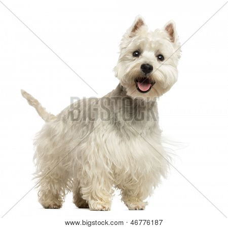 West Highland White Terrier panting, looking happy, 18 months old, isolated on white