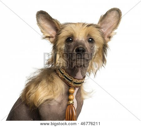 Close-up of a Chinese Crested Dog puppy looking at the camera, 4 months old, isolated on white