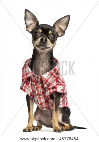 Chihuahua wearing a check shirt, 18 months old, isolated on white