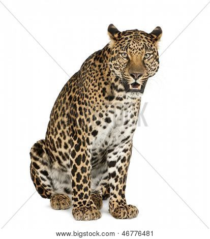 Leopard sitting, roaring, Panthera pardus, isolated on white