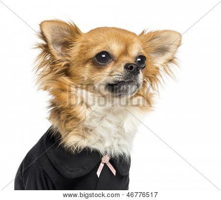 Close-up of a dressed up Chihuahua looking away, 14 months old, isolated on white