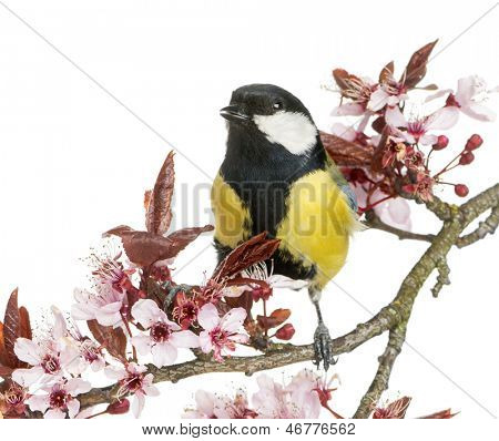 Male great tit tweeting, Parus major, isolated on white