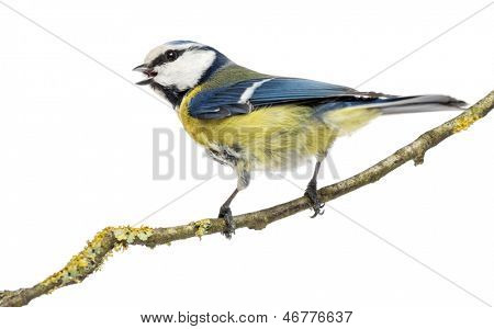 Rear view of a tweeting Blue Tit perched on a branch,  Cyanistes caeruleus, isolated on white