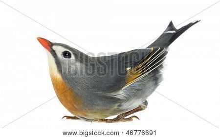 Red-billed Leiothrix, Leiothrix lutea, in funny position, looking up, isolated on white