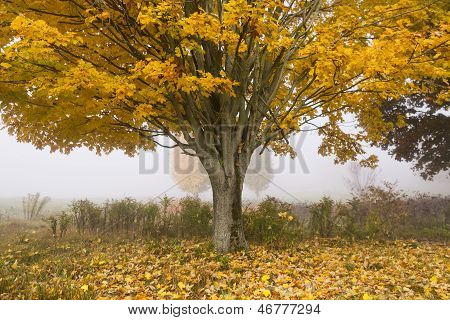 Golden Maple Tree In Autumn.