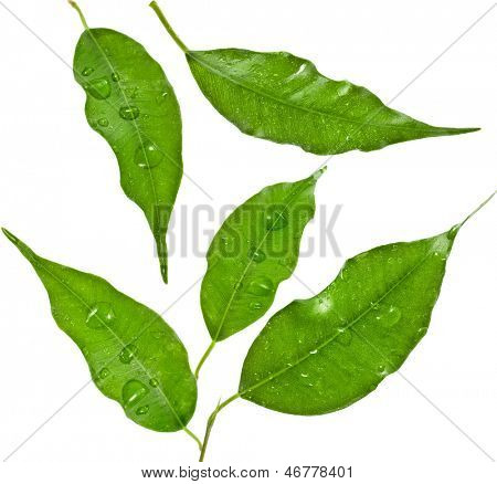 green leaf of ficus tree  with water drops close up  isolated on white background
