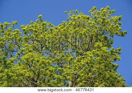 Spring leaves against the blue sky background. Tree branch full of green leaves against blue sky.