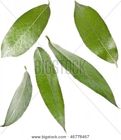 Willow weeping tree leaves isolated on white background