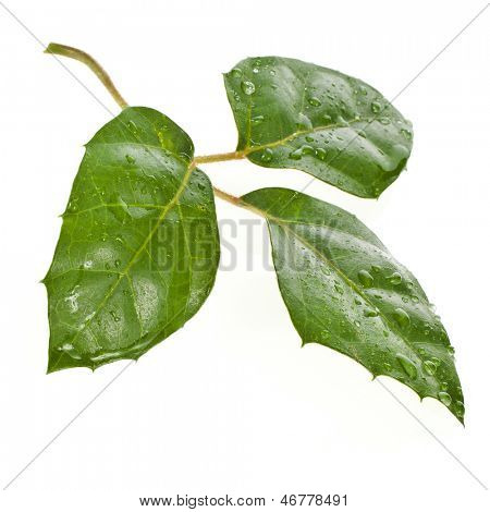 Rhoicissus  liana cissus isolated on white background