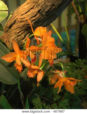 Orange Dafodil Orchids