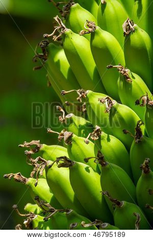 Banana tree with green fruits