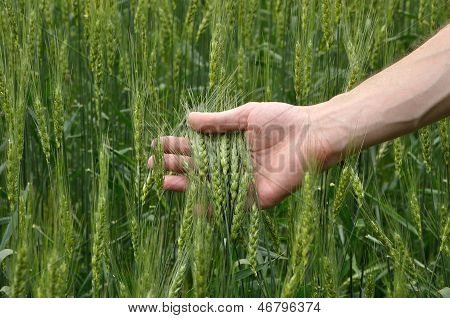 Man's Hand Holding Wheat