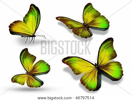 Four Color Butterfly, Isolated On White Background