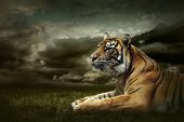 stock photo of tigers  - Tiger looking and sitting under dramatic sky with clouds - JPG