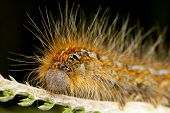 stock photo of larva  - Hairy orange larva or caterpillar crawls on plant - JPG