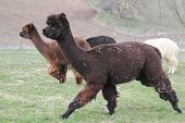 picture of alpaca  - Alpacas are grown for their wool - JPG