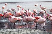 pic of eduardo avaroa  - Flamingos on lake in Andes the southern part of Bolivia - JPG