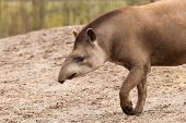 stock photo of terrestrial animal  - Profile portrait of south American tapir  - JPG