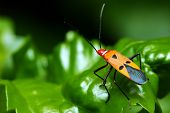 stock photo of coitus  - Close up of shield bugs crawling on green leaf. ** Note: Shallow depth of field - JPG