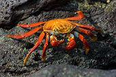 stock photo of crustations  - red crab on the rock galapagos islands - JPG