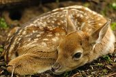 stock photo of bambi  - Just born cute young fallow deer lying on the grass - JPG