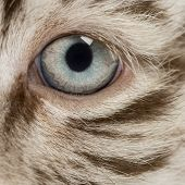 image of white tiger cub  - Macro of a White tiger cub eye  - JPG