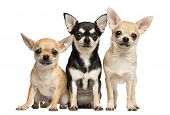 image of chihuahua  - Tree Chihuahuas next to each other - JPG