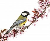 foto of tit  - Male great tit perched on a flowering branch - JPG