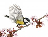 stock photo of tit  - Male great tit taking off from a flowering branch  - JPG